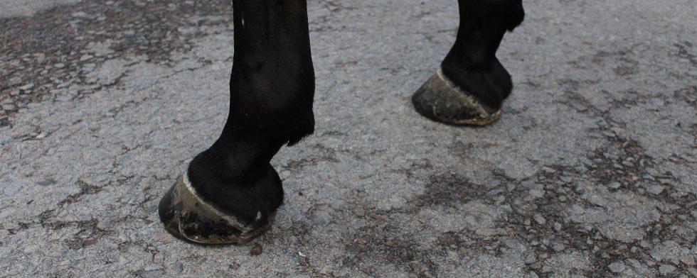 Arkivbild (denna häst är skodd med vanliga skor, ej den sko som nämns i texten)