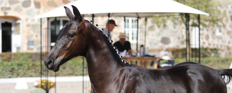 Föl är så vackra, här Decor som ska bli dressyrhäst när han blir stor. Foto: Kim C Lundin