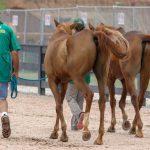 Sydafrikanska hästar, detta är den som ska vara redo för 16 mil.  Foto: Kim C Lundin