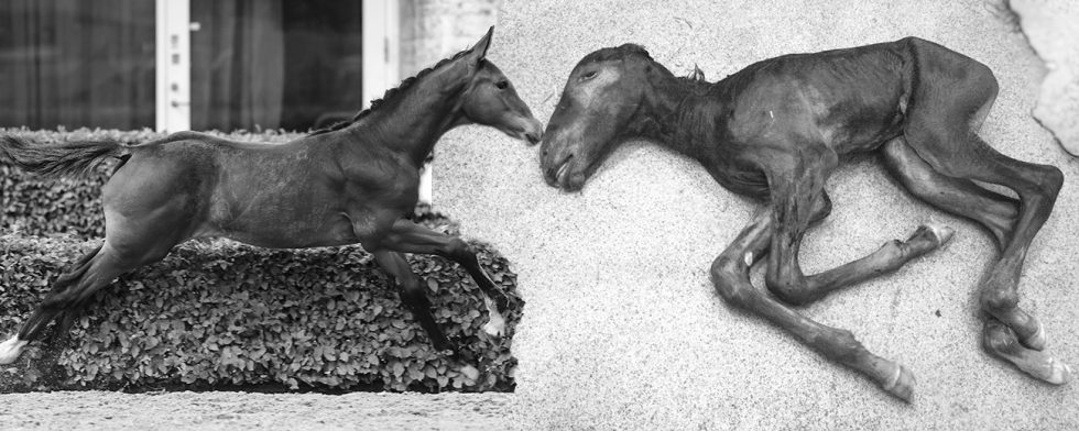 Alla uppfödares dröm respektive mardröm. Ett friskt starkt föl – ett dödfött med två  anlagsbärande förälder. Foto: Kim C Lundin