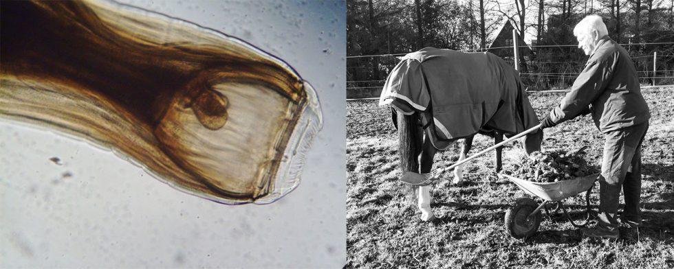 Stora blodmasken, strongylae vulgaris, ökar i antal – allt fler jobbar aktivt med att hålla hagar fria genom att mocka efter sn häst. Foto: Wimedia Commons / Kim C Lundin