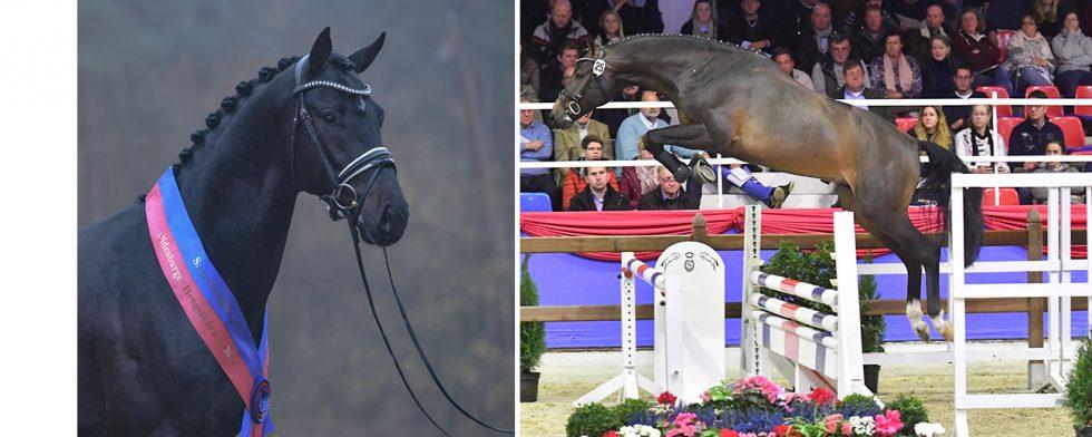 Två segerhingstar, till vänster danskfödde Gigabyte och till höger Don Victory, auktionens pristopp. Foto: Old/ Feldhaus