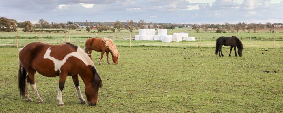 Hästar på sandrika beten riskerar kolik i större utsträckning än där betet är mer rikligt. Foto: Fredrik Jonsving