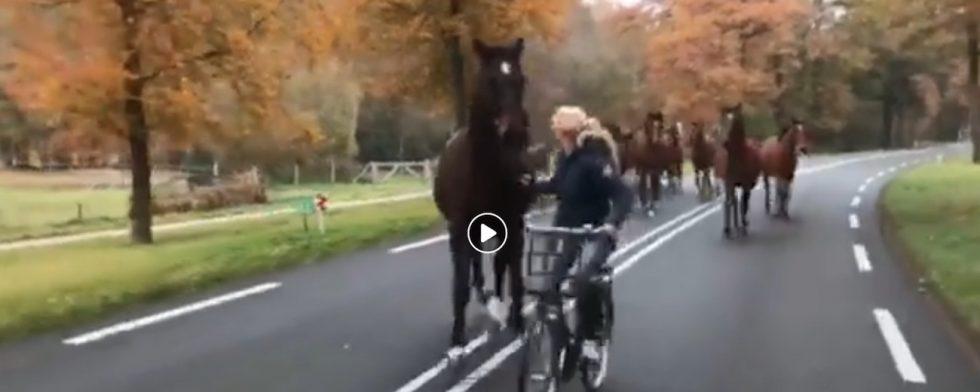 Cykeltransport av unghästarna hos van Straatens.
