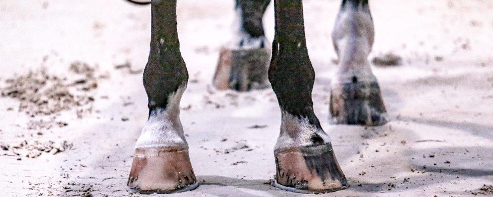 Nu är det inte längre tillåttet att klippa benen på en häst på en internationell tävlingsplats. Foto: Kim C Lundin