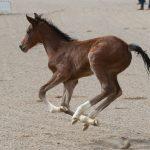 Pigga föl efter Casanova Hästak på hingstvisningen, här cirka 2-3 veckor gamla  Foto: Kim C Lundin