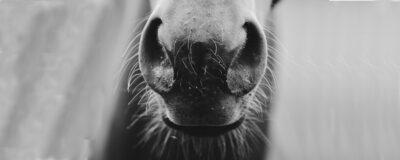nonsens nos mule